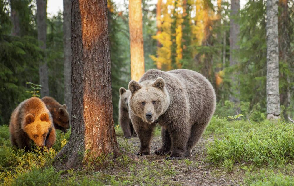 Aktivreisen: bears finlandpics visitfinalnd