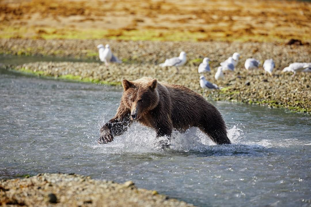 Expeditionen: kodiak baer ashton ray hansen hurtigruten
