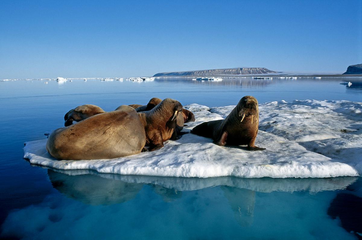 Expeditionen: walross magnus elander visitgreenland