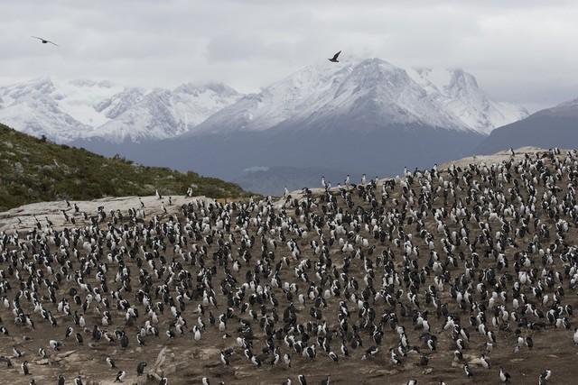 Hurtigruten: pinguine kolonie cobbing hurtigruten