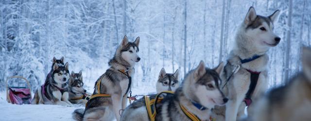 Winter: husky c fredrik broman imagebank sweden se