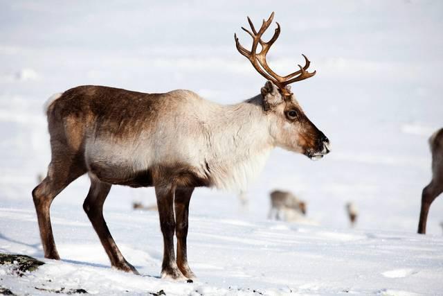 Winter: rentier mikko ryhaenen