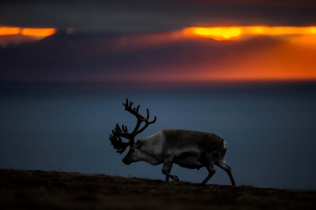Winter: rentier roy mangersnes wildphoto no  nordnorge com